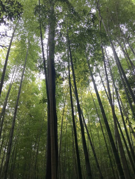 BambooForest1000